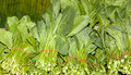 Fresh green vegetable chinese kale Royalty Free Stock Photos