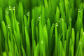Fresh green wheat grass with drops macro background dew eco Stock Photos