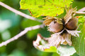Fresh hazelnuts on tree ripening a summer season Royalty Free Stock Photos