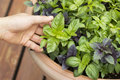 Fresh and healthy Large Leaf Basil in Pot on Deck Royalty Free Stock Photo