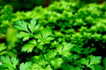 Fresh herb: flatleaf parsley Stock Photography
