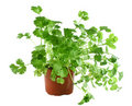 Fresh Herbs Coriander 1 Royalty Free Stock Image