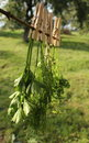Fresh herbs hanging for drying Royalty Free Stock Photography