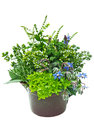 Fresh herbs in plant pot closeup of white studio background Stock Photos
