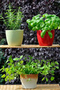 Fresh herbs in pots Royalty Free Stock Photo