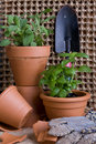 Fresh Herbs rb In Terracotta Pots Royalty Free Stock Images