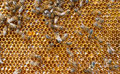 Fresh honey in comb and bees Stock Images