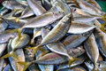 Fresh Indian Mackerel (Rastrelliger kanagurta) Stock Photography