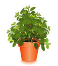 Fresh Italian Oregano in a Flower Pot Stock Photography