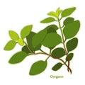 Fresh Italian Oregano Herb