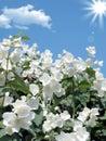 Fresh jasmine. Weather - sunny spring day Royalty Free Stock Photo