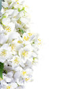 Fresh jasmine white background summer flower Stock Images