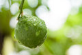 Fresh Kaffir Lime with water drop Royalty Free Stock Photo