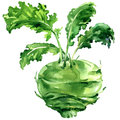 Fresh kohlrabi with green leaves isolated, watercolor illustration on white