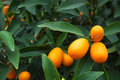 Fresh kumquat orange Royalty Free Stock Images