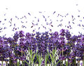 Fresh lavender flowers on white Royalty Free Stock Image