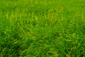 Fresh lawn grass Royalty Free Stock Image