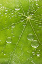 Fresh leaf water drops background a green with and veins Royalty Free Stock Photo