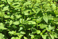 Fresh leaves of stinging nettles (Urtica dioica) - green natural background