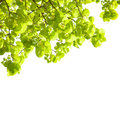 Fresh leaves of tilia isolated on white background lime trees Royalty Free Stock Photo