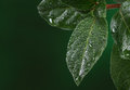 Fresh leaves with water drops. Royalty Free Stock Photo