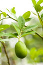 Fresh Lemon Tree Royalty Free Stock Photo