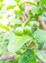 Fresh lemon tree in sunny garden. Royalty Free Stock Photo