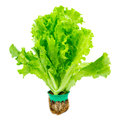 Fresh Lettuce Stock Photo