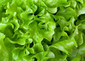 Fresh lettuce close-up Stock Images