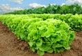 Fresh lettuce on a field