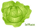 Fresh lettuce head Royalty Free Stock Photo