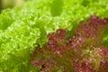 Fresh lettuce (Lactuca sativa var. crispa) Stock Photography
