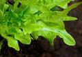 Fresh lettuce plant in a garden Royalty Free Stock Photo