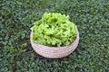 Fresh lettuce salad in wooden wicker basket on garden grass Royalty Free Stock Photo