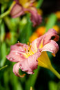 Fresh lily flower Royalty Free Stock Images