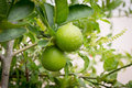 Fresh limes on lime tree Royalty Free Stock Photo