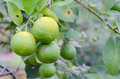 Fresh limes on tree Royalty Free Stock Photo