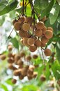 Fresh longan handing on tree Stock Images