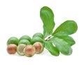Fresh macadamia nut Royalty Free Stock Photo