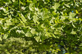 Fresh maidenhair tree leaves in springtime Royalty Free Stock Photo