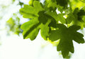Fresh maple leaves on a tree close up Royalty Free Stock Image