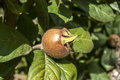 Fresh medlar fruit hanging on tree branch Stock Photography