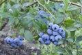 Fresh mellow blueberries on the green bush horizontal Royalty Free Stock Photography