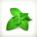 Fresh mint leaves illustration on white background Stock Photography