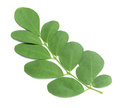 Fresh moringa leaves on white Royalty Free Stock Images