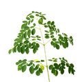 Fresh moringa leaves on white background Royalty Free Stock Image