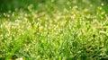 Fresco mañana rocío en hierba