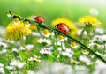 Fresh morning dew ladybird Royalty Free Stock Photos