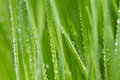 Fresh morning dew on spring grass Royalty Free Stock Photo