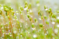 Fresh moss and water drops in green nature Royalty Free Stock Images